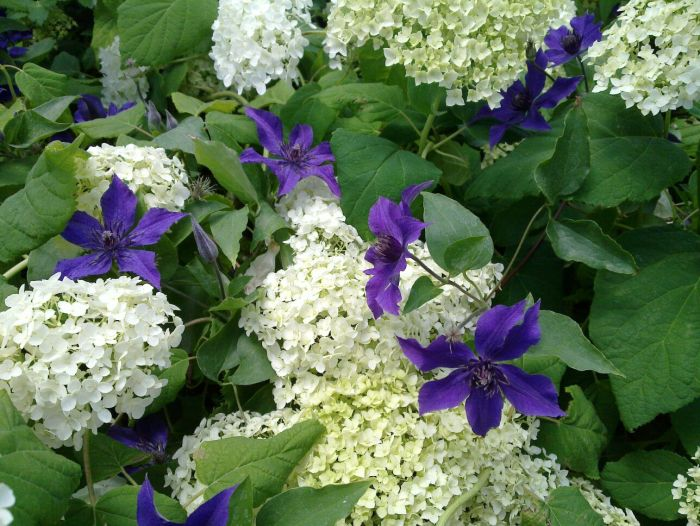 clematis guiding growing