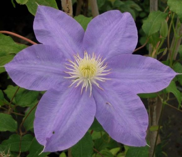 Clematis H.F.Young old pic but big flowers