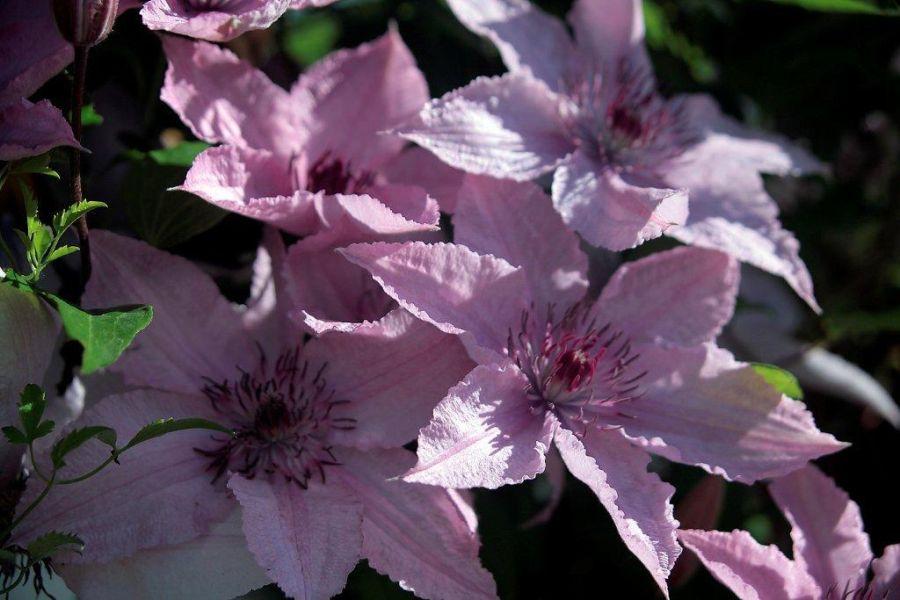 Clematis Hagley Hybrid garden situation
