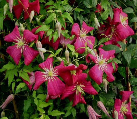 Clematis Madame Julia Corevon mass shot