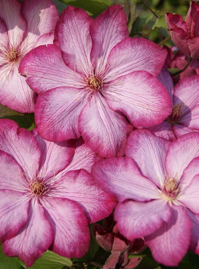 Clematis Liberty close up