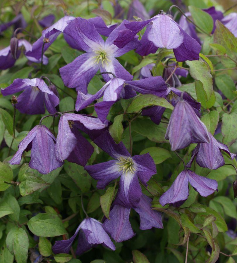viticella Little Bas mass flowers