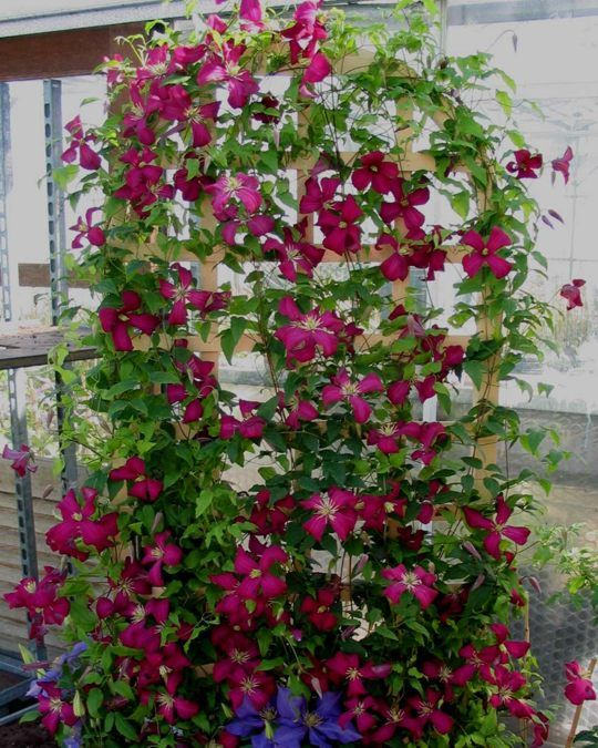 Clematis Madame Julia Corevon on a trellis