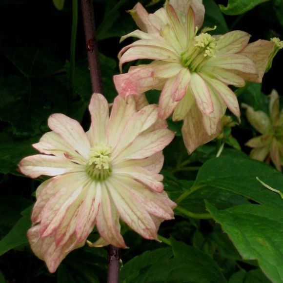 Clematis montana Marjorie nice pair