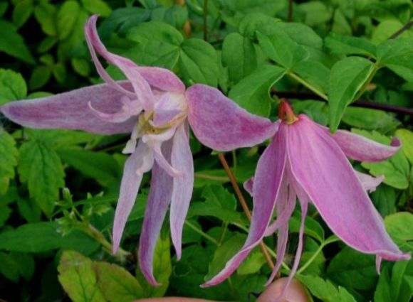 Markhams Pink from the clematis macropetala species