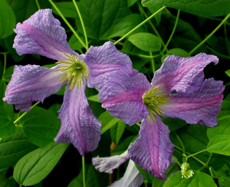 Clematis Morning Heaven close up