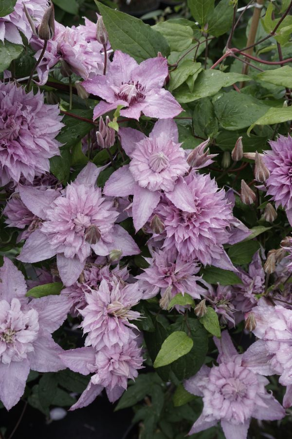 Clematis Multi Pink - double blooms group shot