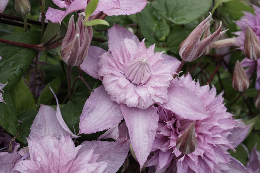 Clematis Multi Pink - double blooms and free flowering