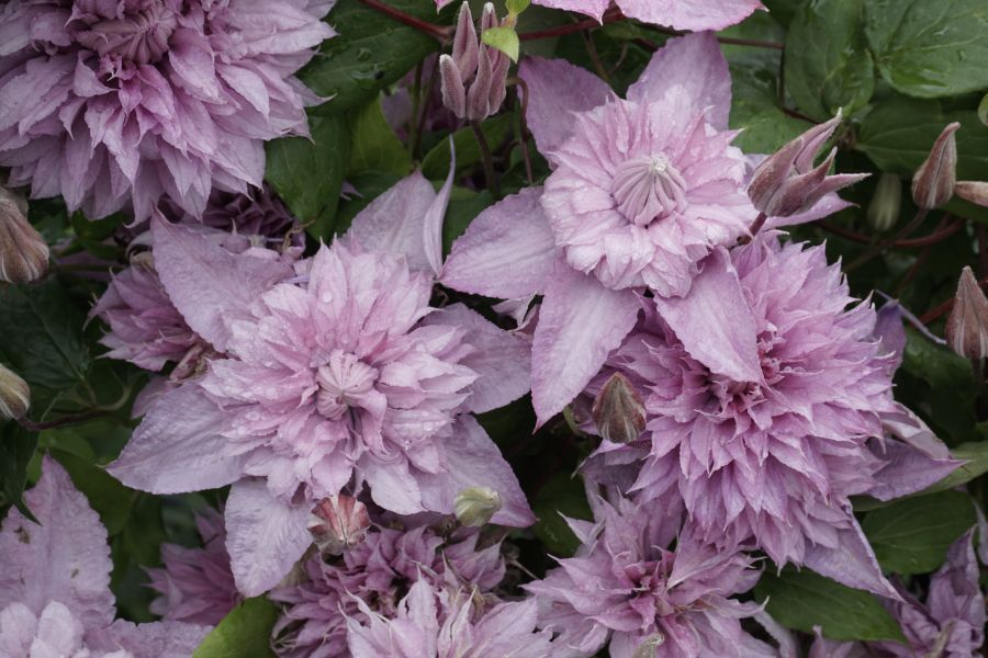 Clematis Multi Pink - double blooms close up
