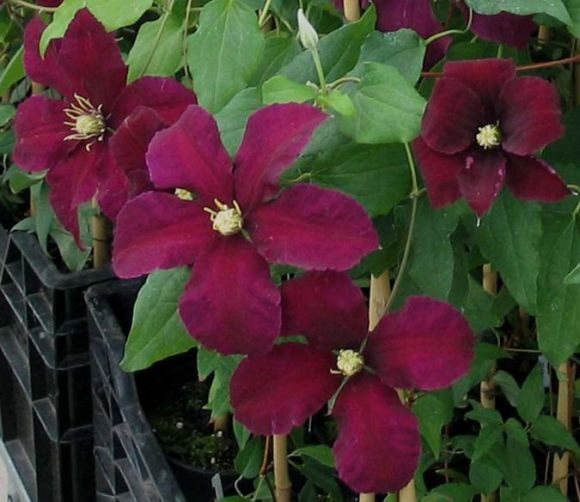 Clematis Niobe showing richer colour