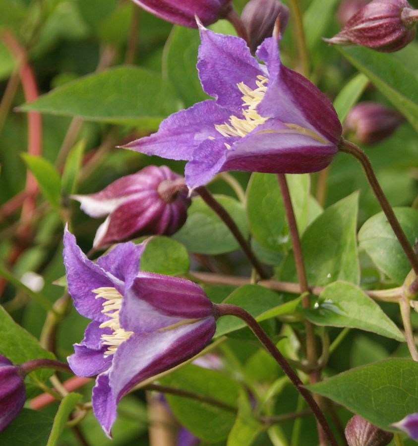Clematis Prince William trumpet shape flowers