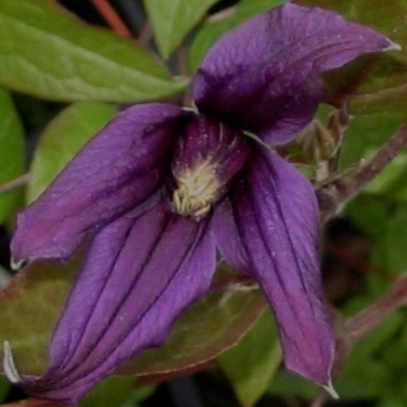 Clematis Petit Faucon close up