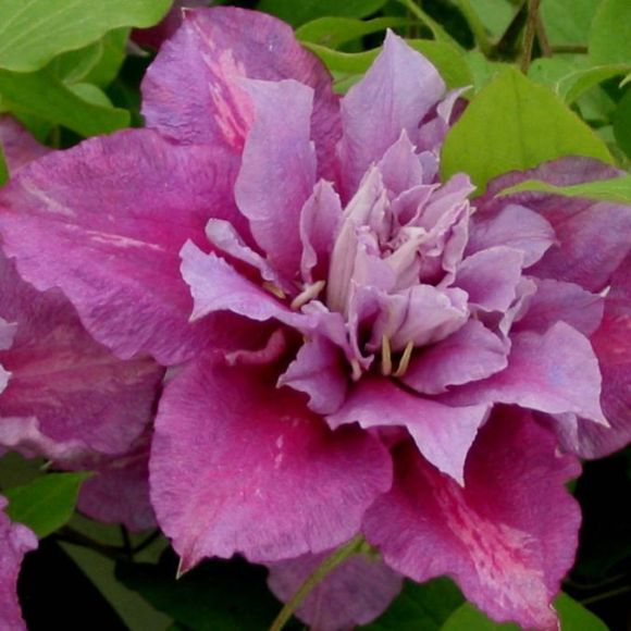 Clematis Piilu in double form ( mainly may/june)