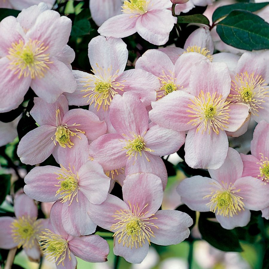Clematis Pink perfection