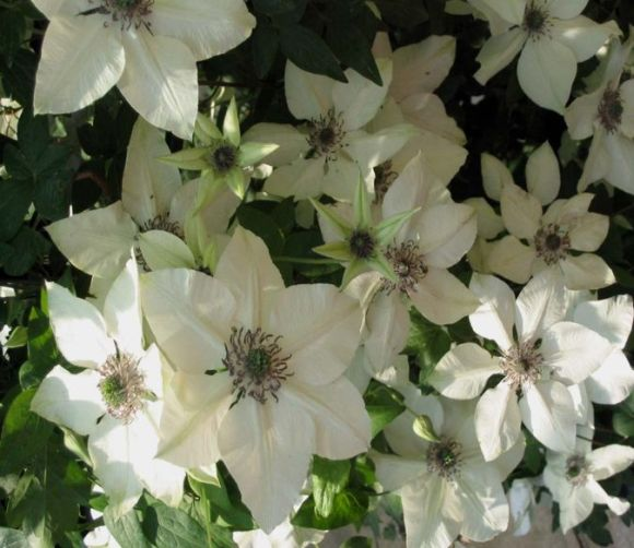clematis florida Pistachio mass of flower