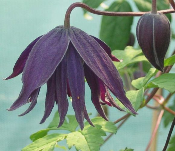 clematis macropetala Purple Spider (old pic) 1