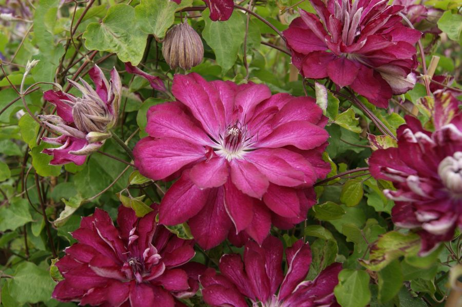 Clematis Red Passion red double