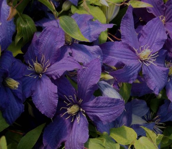 Clematis Rhapsody old pic group shot