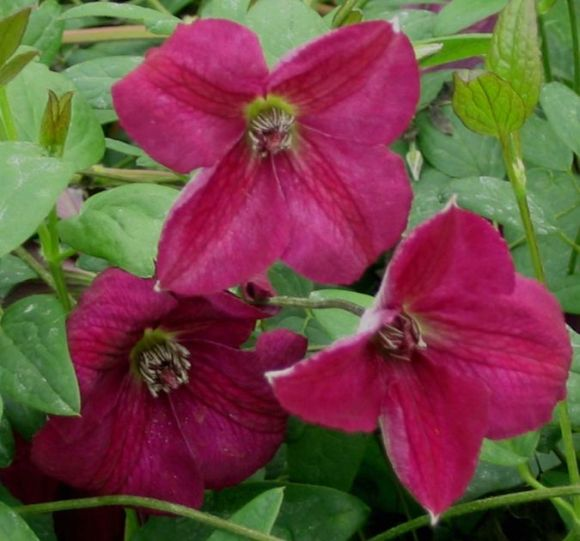 Clematis viticella Royal Velours group shot