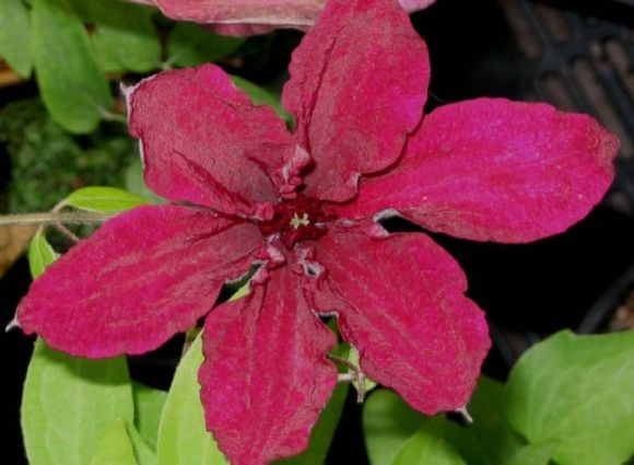 Clematis Ruutel close up old pic