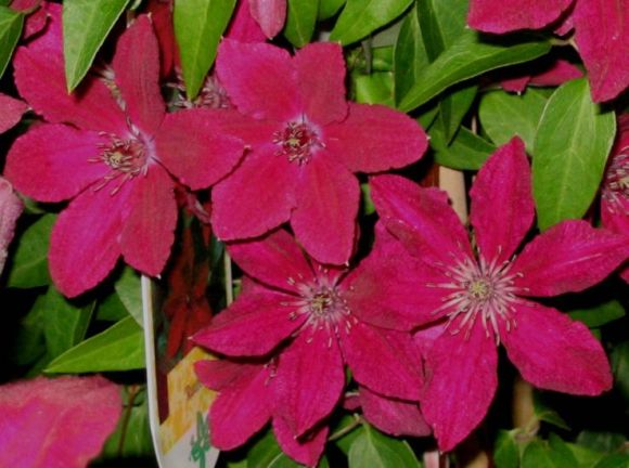 Clematis Ruutel nice group shot old pic