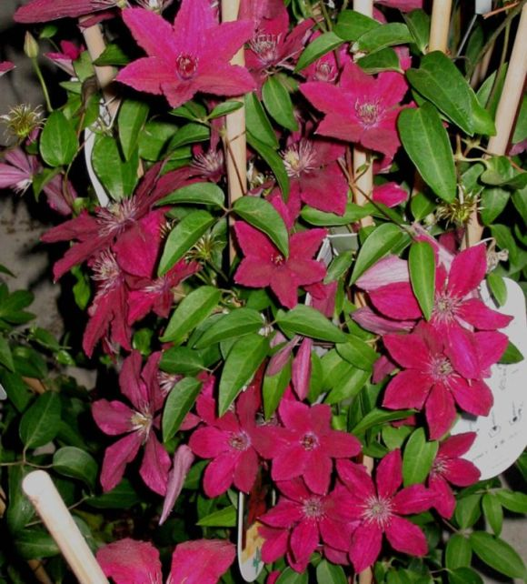 Clematis Ruutel mass shot old pic