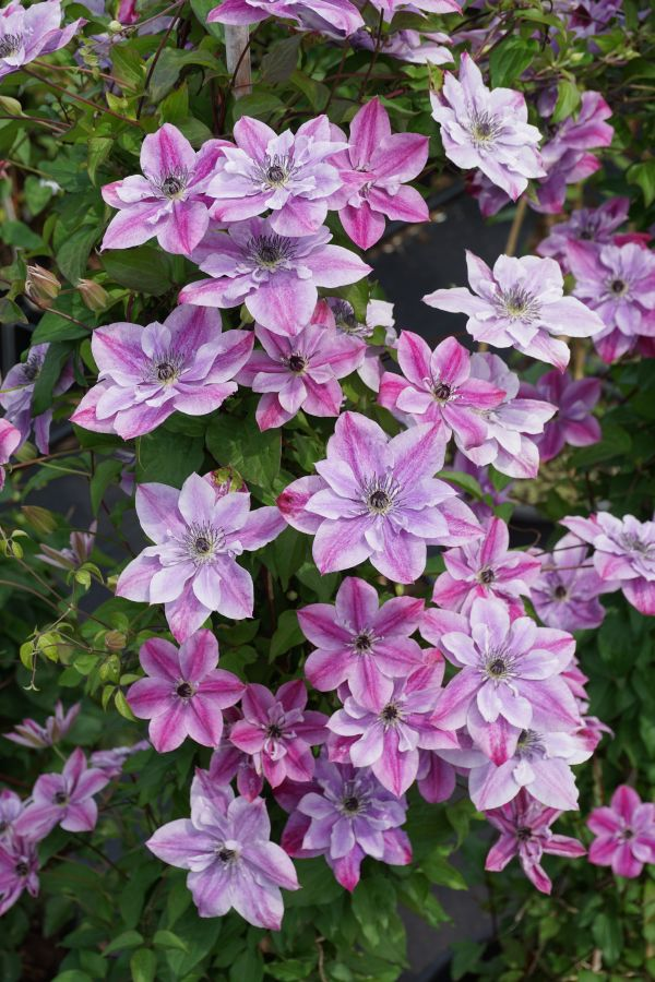 Clematis viticella Super Cute masses of semi double and single flowers