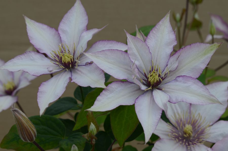 Clematis Samaritan Jo group shot