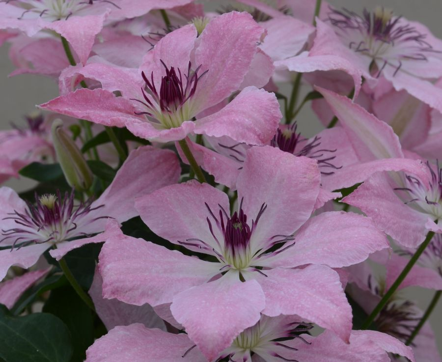 Clematis Sarah Elizabeth the new launch at Chelsea 2018