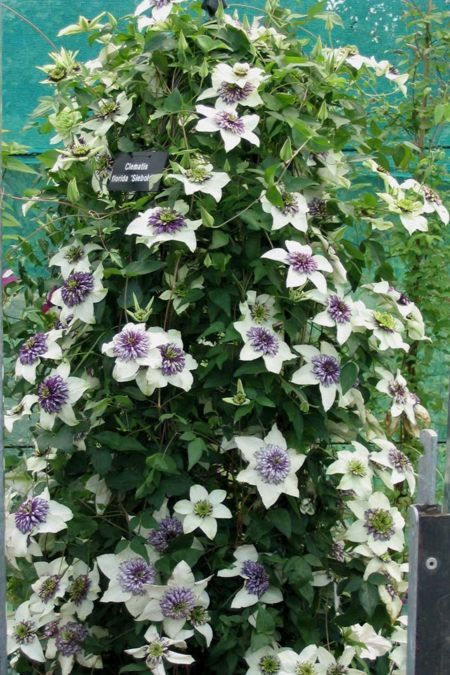 Clematis florida Sieboldii in a pot