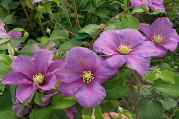 Clematis Twilight group