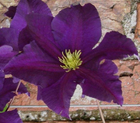 Clematis Viola old pic