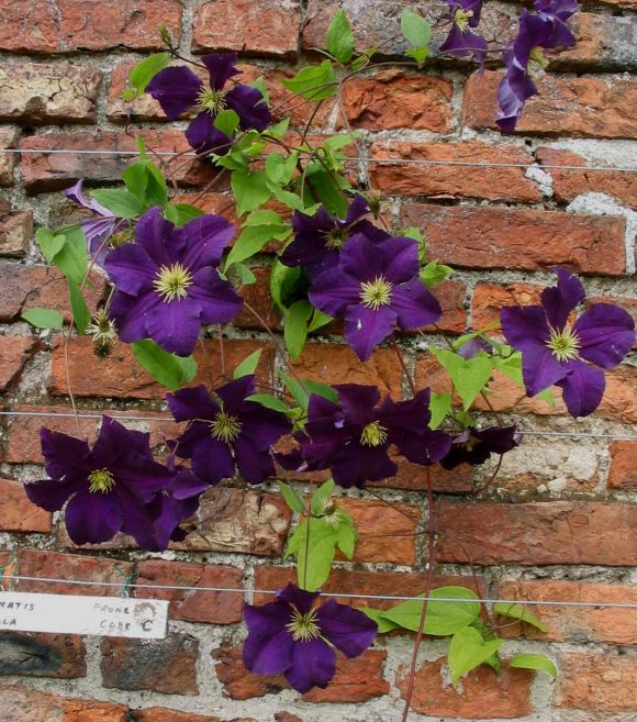 Clematis Viola growing up a wall