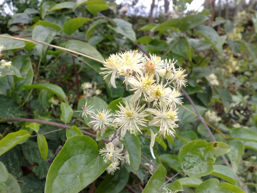 Clematis Vit alba, travellers joy just happily growing in the hedge here