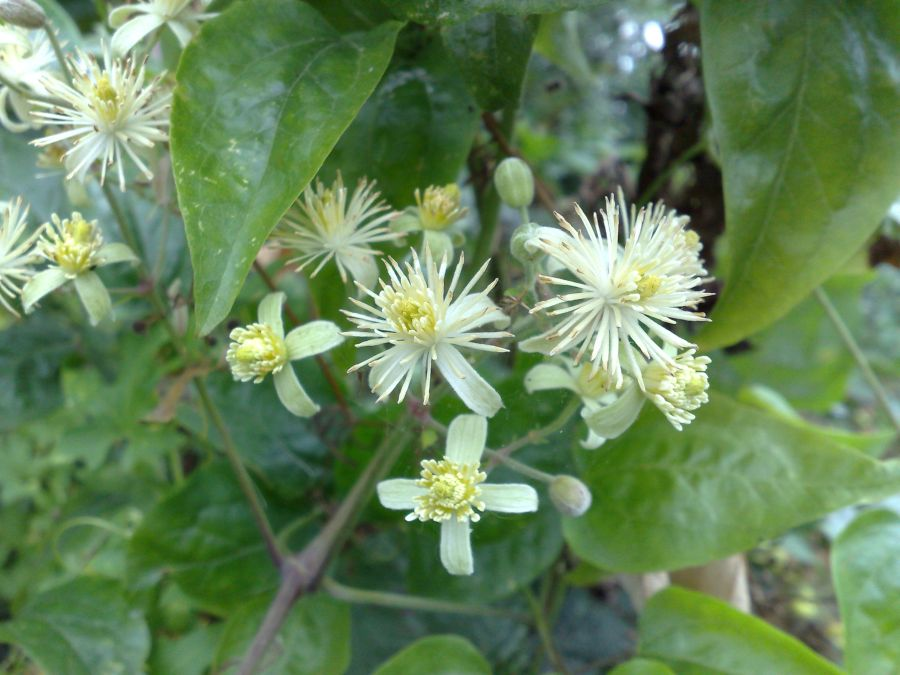 Clematis Vit alba, travellers joy masses of smaller flowers