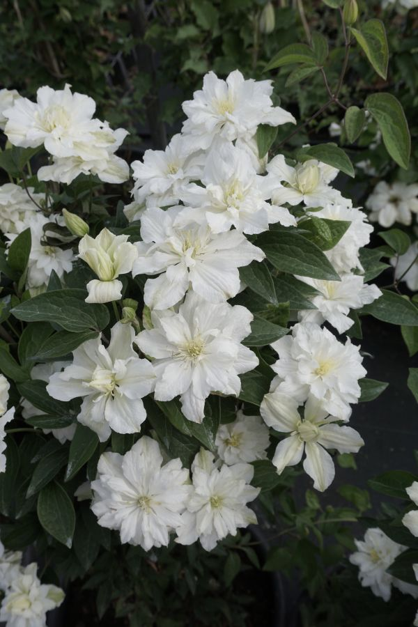 clematis White Arabella double and semi double form