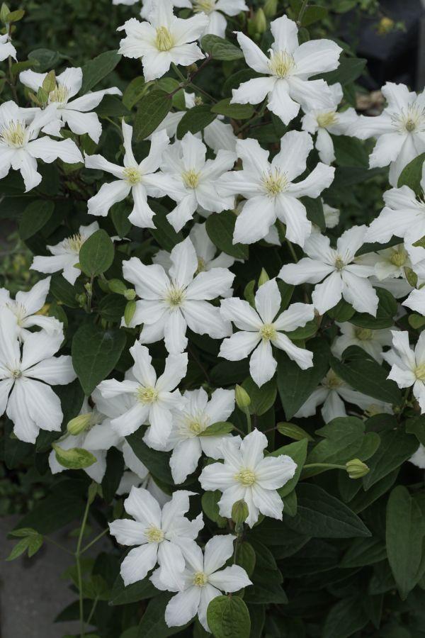 clematis White Arabella single form