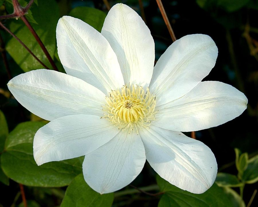 Clematis Wada's Primrose full flower