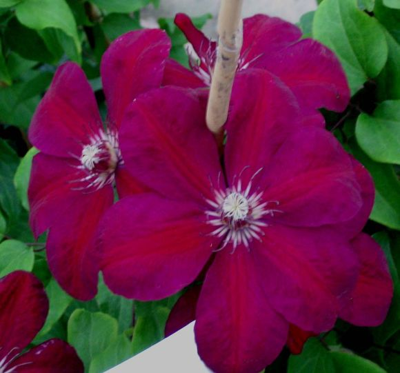 Clematis Westerplatte old pic pair