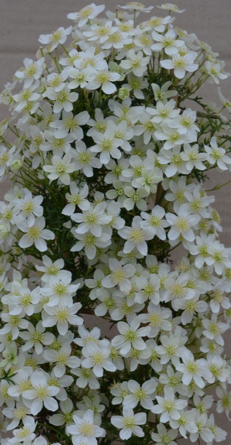 Clematis Xiu Evipo065 close up masses of flowers