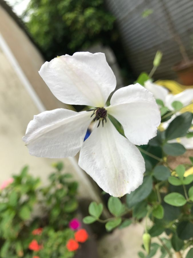 Clematis Alba Luxurians without green twists (random rouge flower)