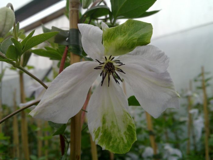 Clematis Alba Luxurians close up