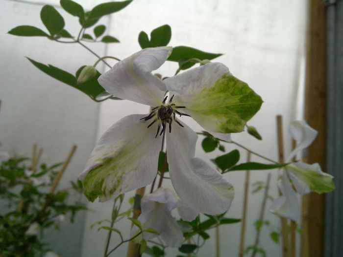 Clematis Alba Luxurians showing the green twist