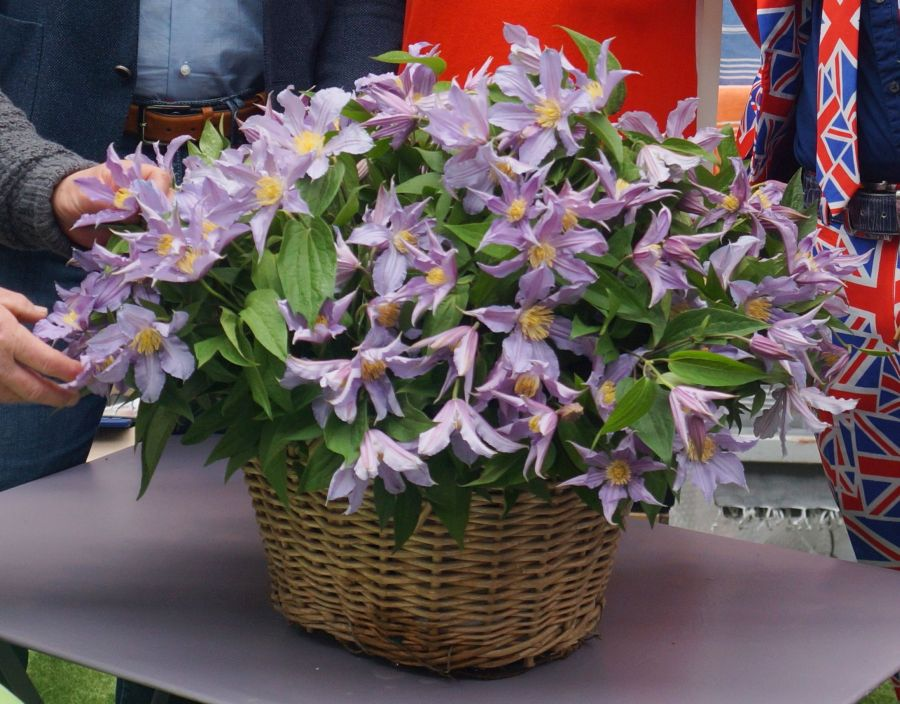 Clematis Amazing London, East river great cut flower