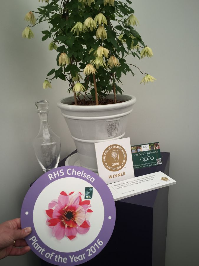 The Winner ! Clematis Amber