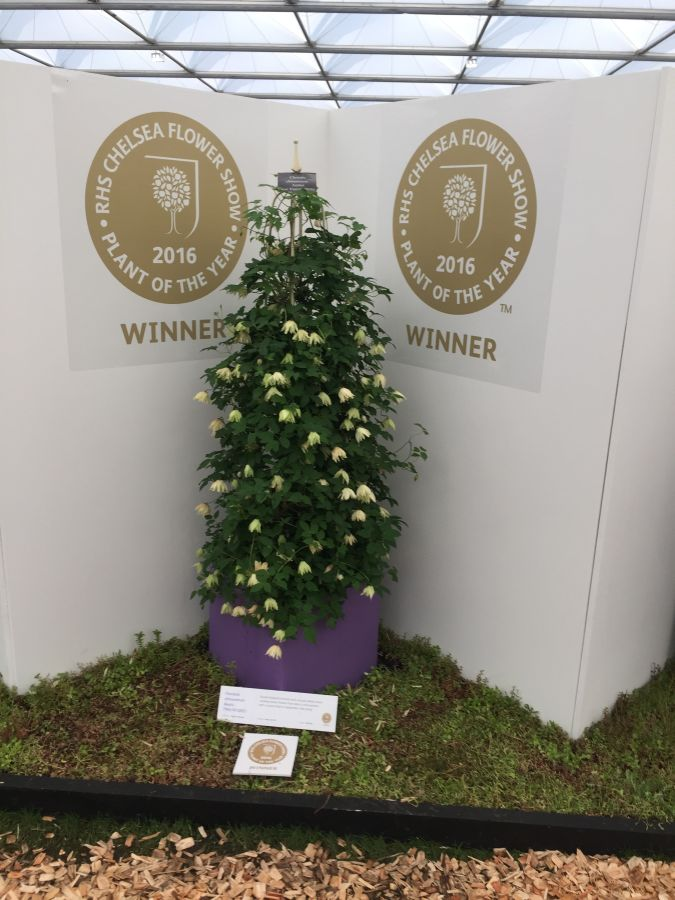 Clematis Amber sat in pride of place all week at Cheslea 2016