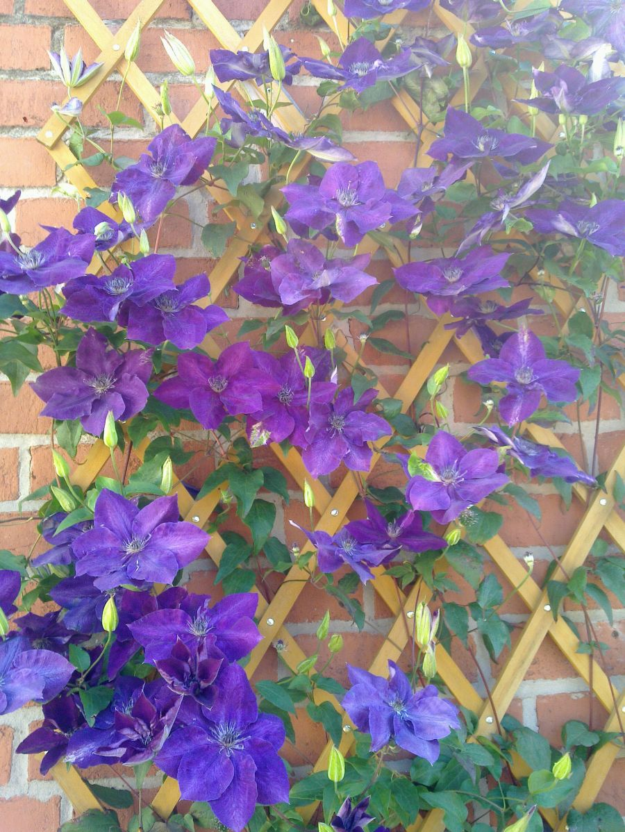 Clematis Amethyst Beauty growing in our garden