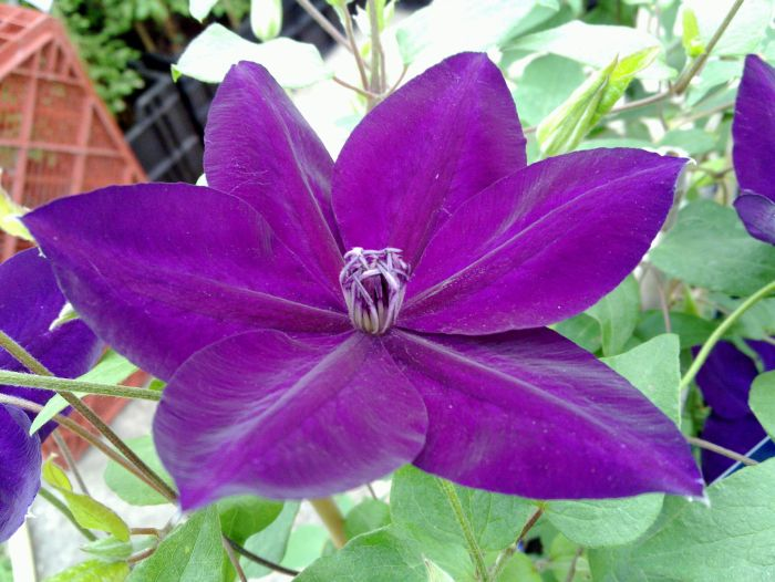 Clematis Amethyst Beauty close up