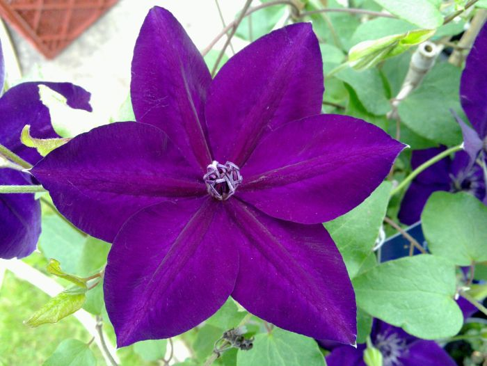 Clematis Amethyst Beauty new world collection