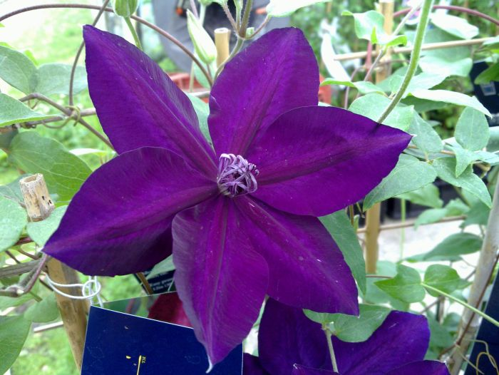 Clematis Amethyst Beauty